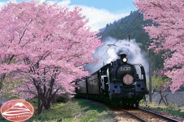 Hoa Anh Đào điểm sắc cho đoàn tàu