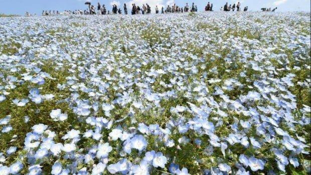 Công viên bờ biển Hitachi nổi tiếng với hoa màu xanh nở quanh năm