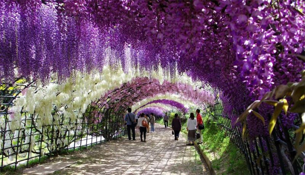 Vòm hoa tử đằng ở Ashikaga tuyệt đẹp vào tháng 5