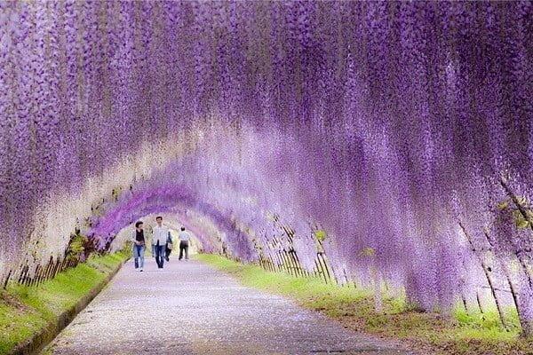 Vòm Hoa tử đằng đẹp nhất thế giới tại công viên Ashikaga