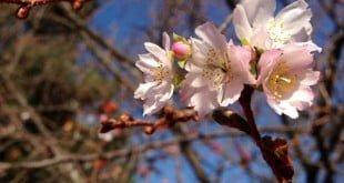 Hoa anh đào Nhật Bản: có thể bạn chưa biết?