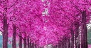 Những con đường hoa đẹp nhất Nhật Bản