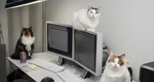 Mèo Nhật Bản giúp tăng hiệu suất làm việc