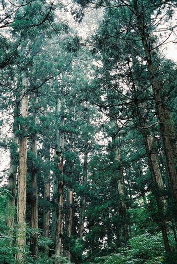 cedar-trees-in-Japan-nhatbanaz