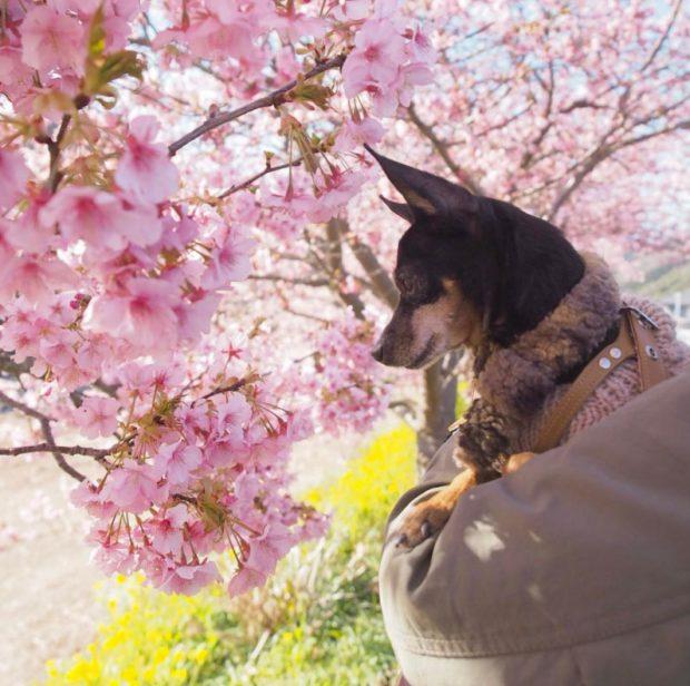 Chó cũng say mê ngắm hoa anh đào nở