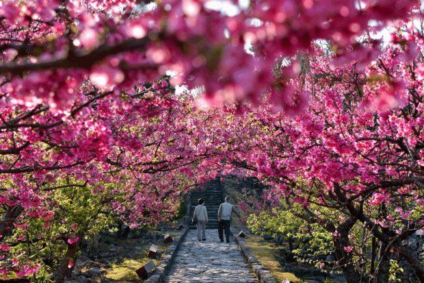Hoa anh đào nở sớm Okinawa
