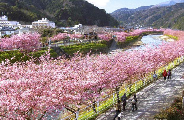 Hoa anh đào nở sớm Kawazu