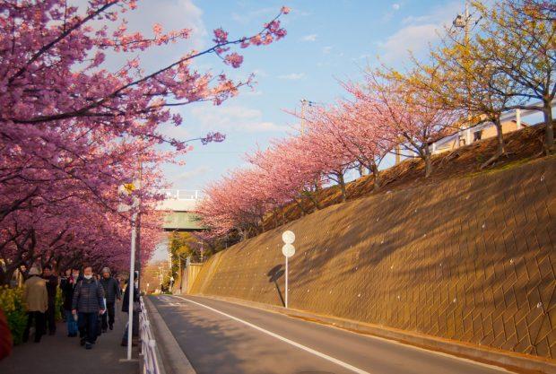Hoa anh đào nở sớm Miurakaigan (Miura, Kanagawa)