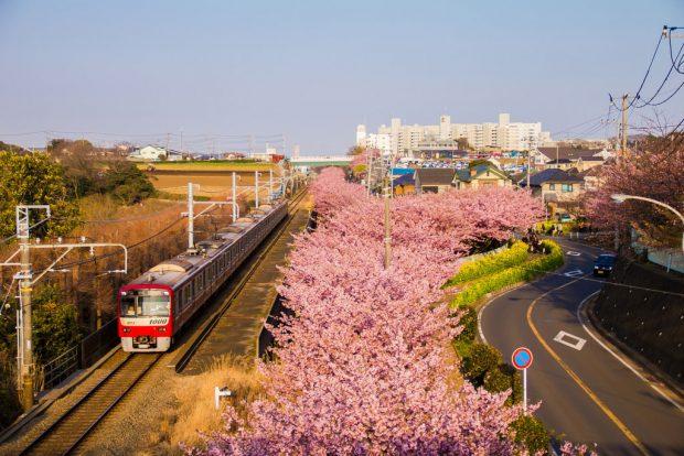 Hoa anh đào nở sớm Miurakaigan (Miura, Kanagawa) dọc đường tàu