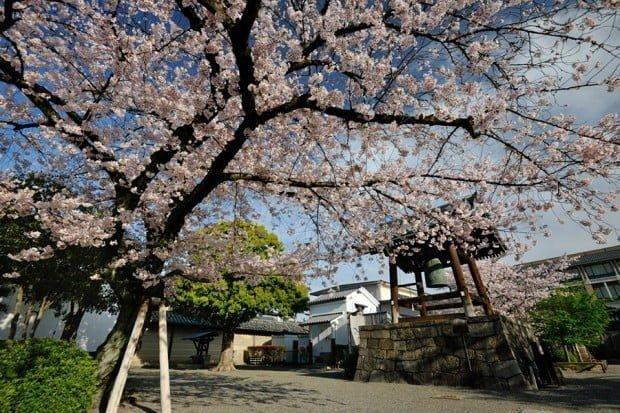hoa-anh-dao_toji_kyoto_nhat-ban3