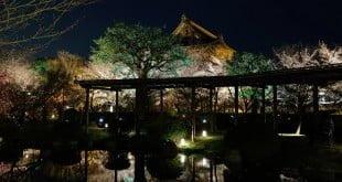 Hoa Anh Đào ngày và đêm ở đền Toji (Đông Tự), Kyoto, Nhật Bản