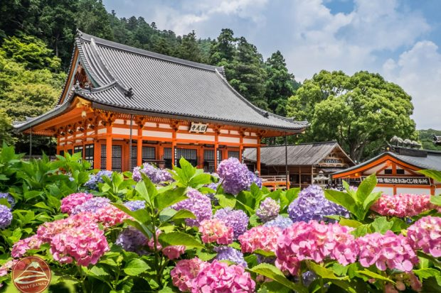 Hoa cẩm tú cầu rực rở trong mùa hè Nhật bản