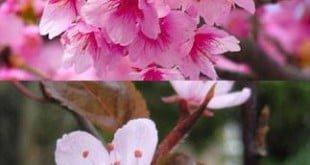 Phân biệt Hoa Anh Đào và Hoa Mơ Nhật bản: Cherry vs Ume