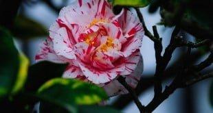 Hoa Trà Nhật Bản – hoa của Samurai, của hậu duệ mặt trời