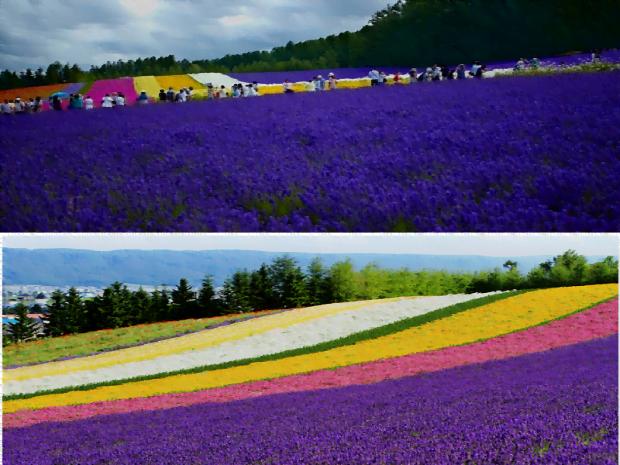 Hoa oải hương tím ngát Hokkaido