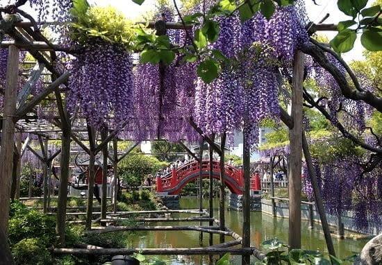 Đền Kameido Tenjin tháng 5 rực rỡ hoa tử đằng