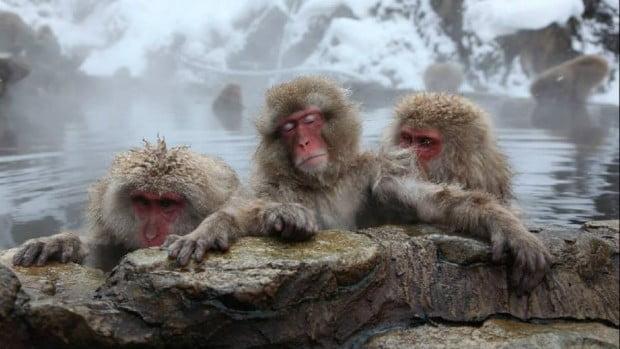 Khỉ Mặt Đỏ Nhật bản