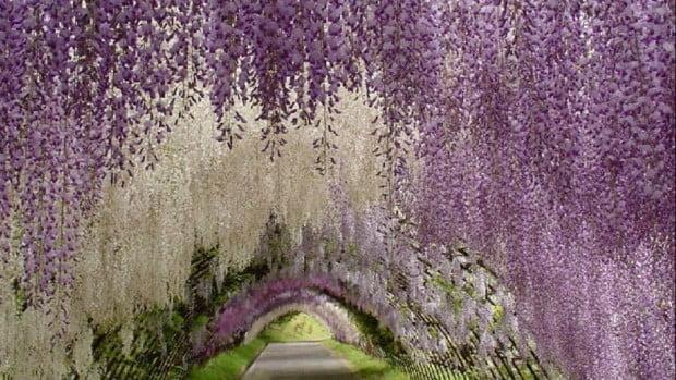 Hầm Hoa Tử Đằng ở vườn Kawachi Fuji Gardens.