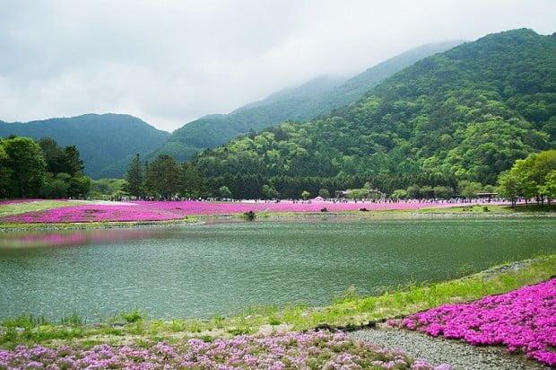 Lễ hội hoa Shibazakura Phú sĩ