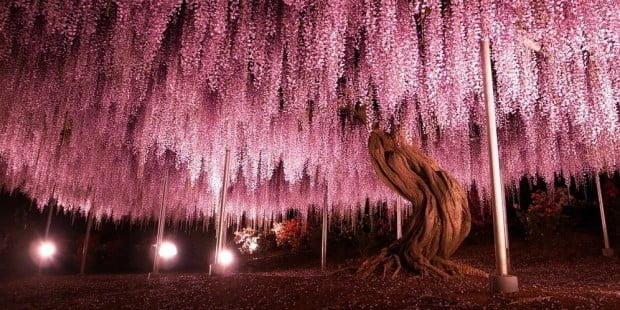 144-oldest-wisteria-tree-ashikaga-japan-fb