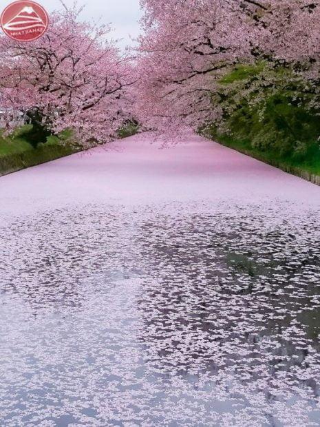 Hoa anh đào dệt màu dòng sông
