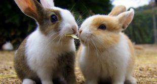 Nét đáng yêu của Thỏ Okunoshima
