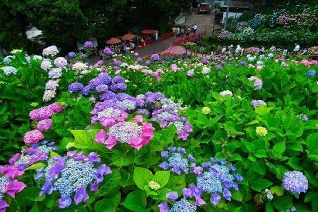 Mùa hè Nhật bản với hoa cẩm tú cầu đủ sắc màu