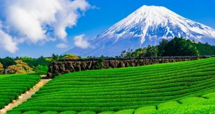 Đã mắt đồi trà xanh dưới chân núi Phú Sĩ