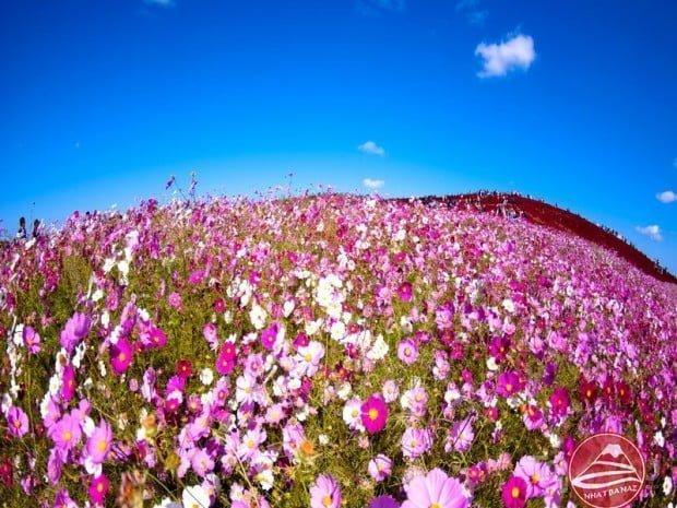 Thiên đường hoa Công viên Hitachi