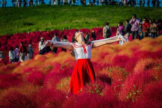 Ngây ngất ngắm cỏ Kochia chuyển màu rực rỡ ở Công viên bờ biển Hitachi