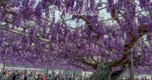 Du lịch Nhật Bản ngắm hoa Tử Đằng mùa Covid 2020