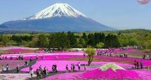Lễ hội hoa Shibazakura – Fuji