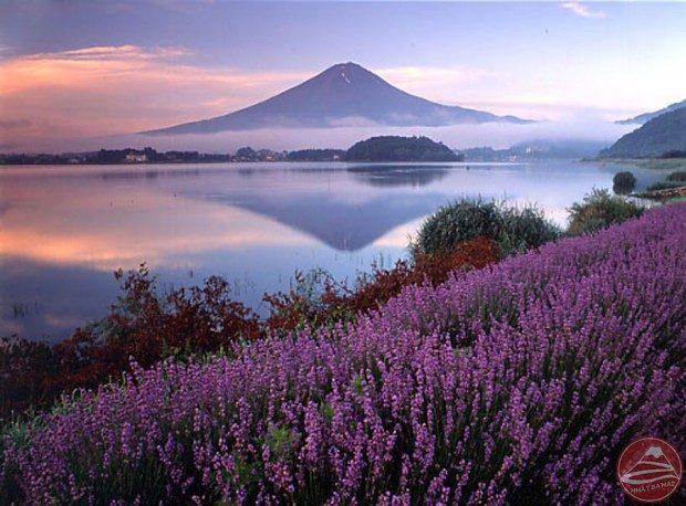 Hoa Oải hương ở Kawaguchiko (ngũ hồ Phú Sĩ)