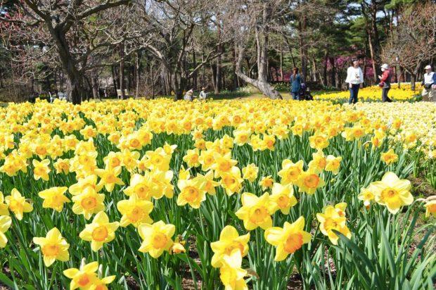 Narcissuse_hoa-thuy-tien