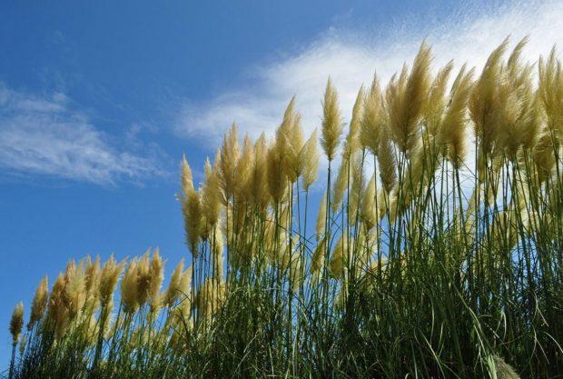 Pampas-grass-bach-vu