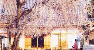 Sắc xuân Nhật Bản mùa Covid 2020 có gì?!