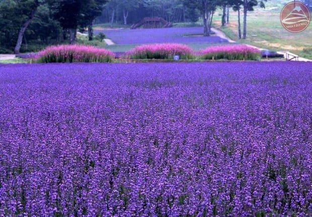 Hoa oải hương lanvender tím ngát ở công viênTambara