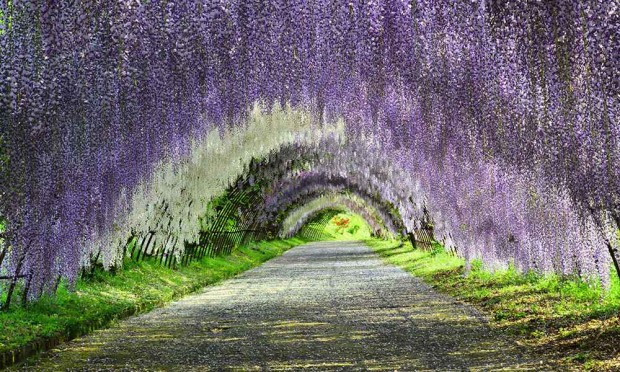 Wisteria Tunnel Kawachi Fuji Garden