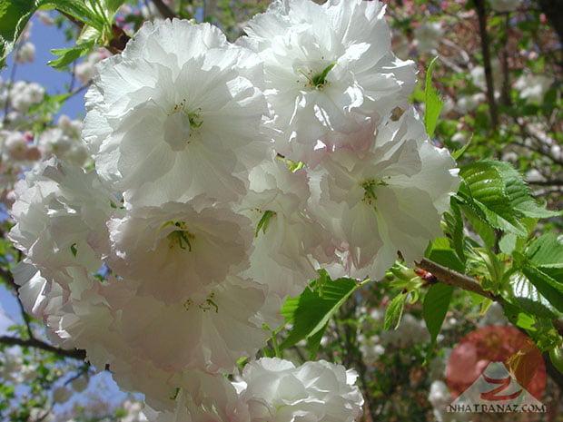 Hoa màu trắng (Shogetsu)