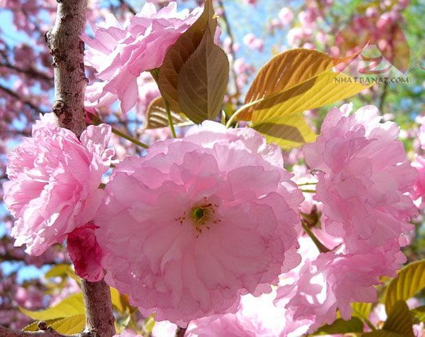 Hoa màu hồng (Kanzan)