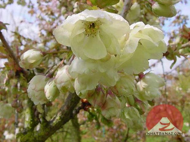 Hoa màu vàng (Ukon)