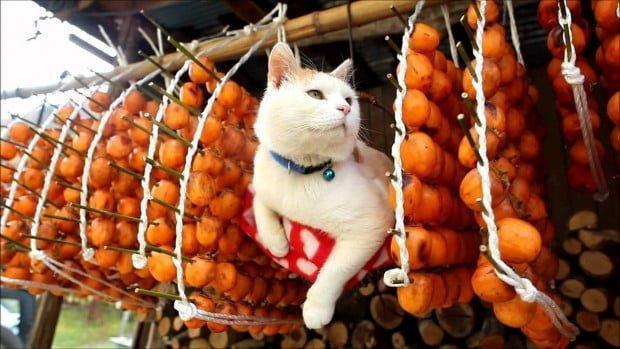 chú mèo và những quả hồng