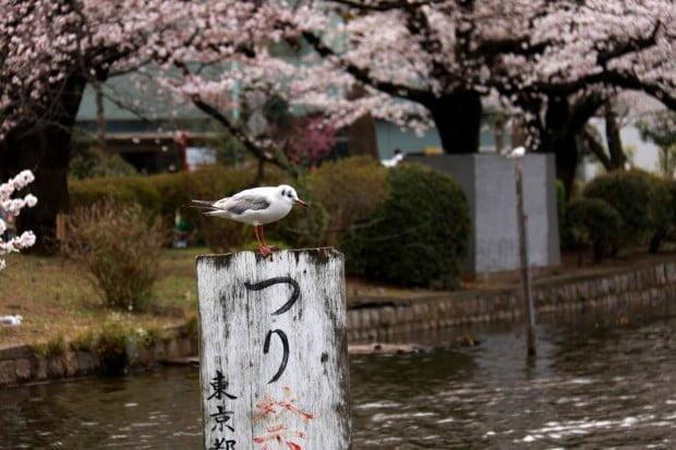 Chim cũng thò ra ngắm hoa anh đào.