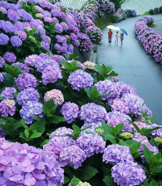 Con đường hoa Cẩm tú cầu ở Miyazaki, Nhật Bản