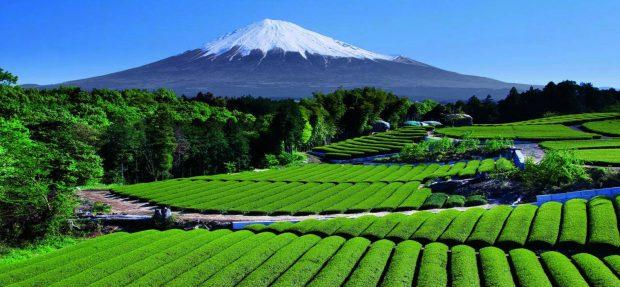 Đồi trà xanh chân núi Phú Sĩ