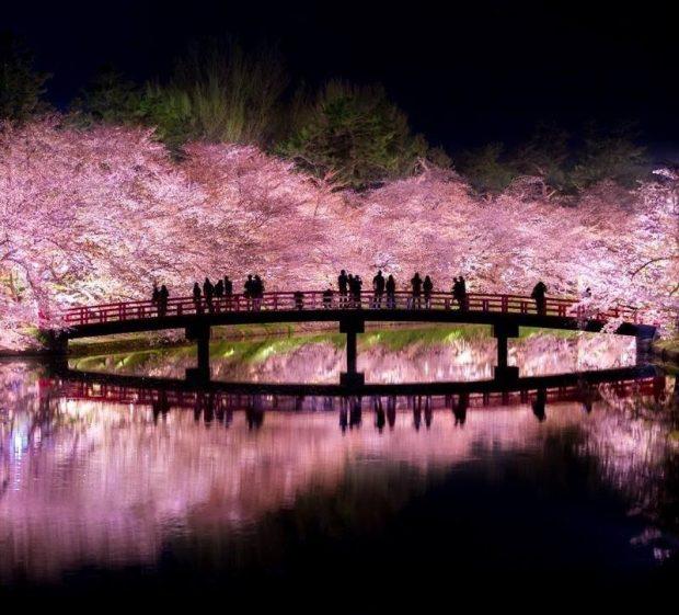 Ngắm hoa anh đào đêm