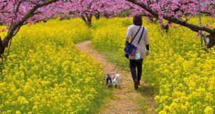 Rực rỡ hoa anh đào, hoa cải đầu tháng 3 ở Nhật bản