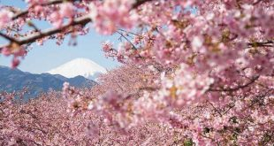 Ngắm hoa anh đào ngắm Phú sĩ