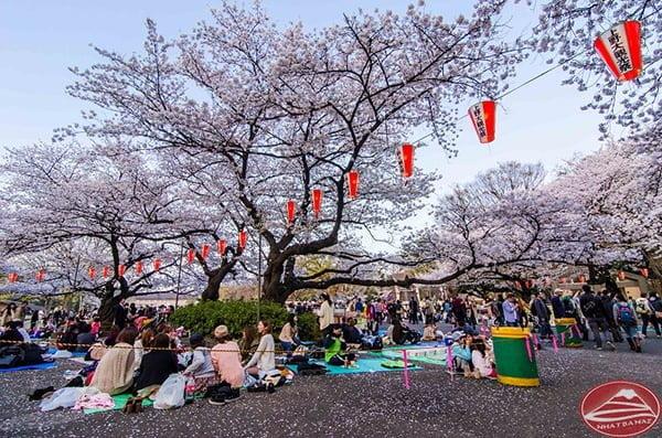 Thú vui ngắm hoa của người Nhật ở Công viên Ueno