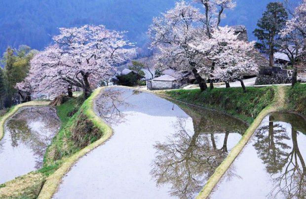 Hoa anh đào làng quê Nhật Bản
